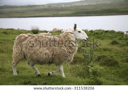 Great Britain, Scotland, Isle of Skye, sheep - stock photo