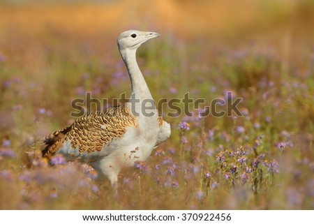 Great Bustard (otis tarda) sitting on the meadow with beautiful orange background in the morning in Hungary. - stock photo