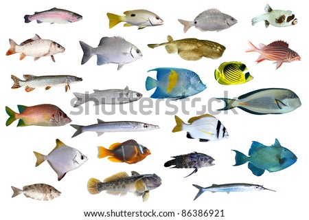 Great collection of a tropical fish on a white background.  River and sea fishes - stock photo