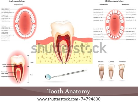 Great collection of Tooth anatomy. Detailed diagrams. Beautiful bright colors - stock photo
