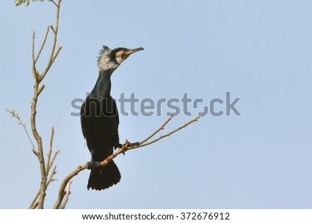 Great Cormorant on a branch - stock photo