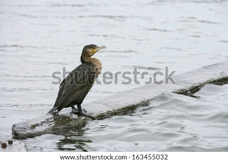 Great cormorant, Phalacrocorax carbo, single bird by water, Dorset