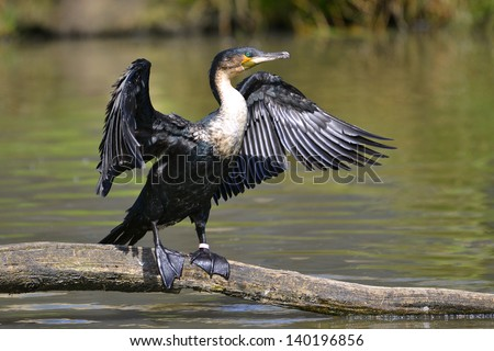Great Cormorant (Phalacrocorax lucinus) above water on trunk tree with opened the wings - stock photo