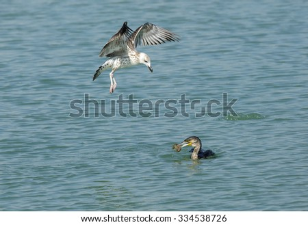 Great Cormorant with fish and a sea gull hovering - stock photo