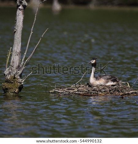Great Crested Grebe (Podiceps cristatus) sitting on eggs in the nest. Hatchling peeks from under the wing of the mother.