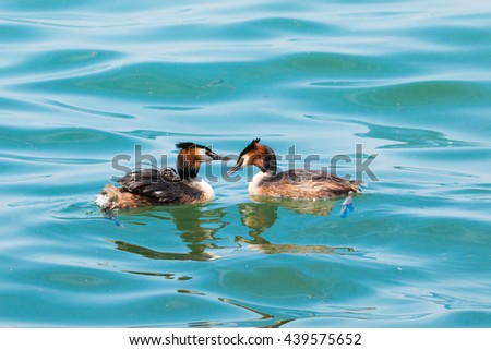 great crested grebe spring breeding season and mating care chicks