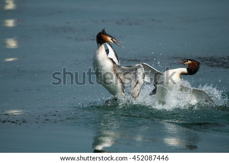 great crested grebe territorial fights