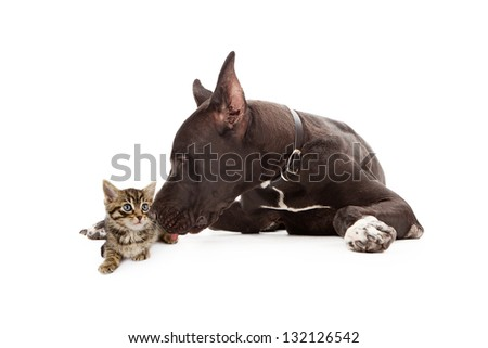 Great Dane dog laying next to a young kitten giving her a kiss - stock photo