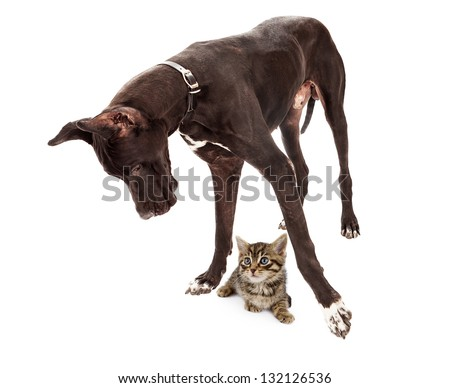 Great Dane dog standing up and looking at a small kitten under his feet - stock photo