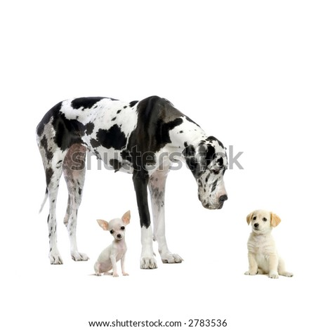 Great Dane HARLEQUIN , puppy Labrador and puppy Chihuahua looking at each other in front of a white background - stock photo