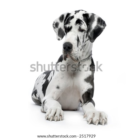 Great Dane HARLEQUIN sitting In front of white background - stock photo