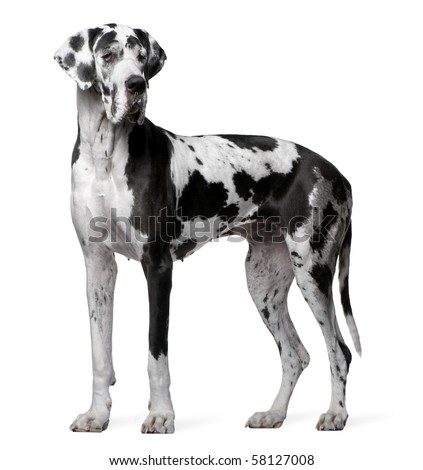 Great Dane Harlequin, 4 years old, standing in front of white background - stock photo
