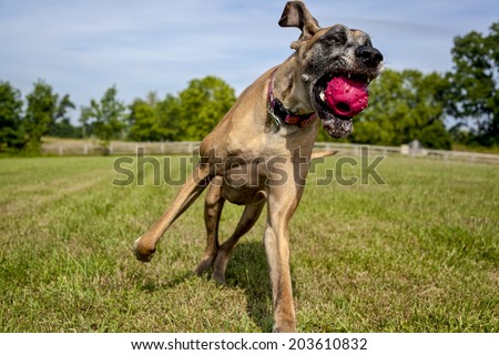 Great Dane having just caught ball - stock photo