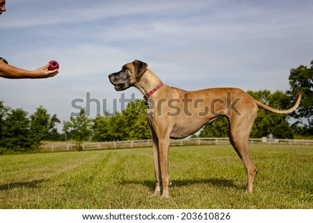 Great Dane in field waiting on master for ball - stock photo