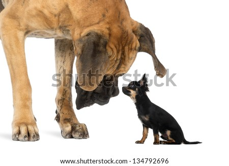 Great Dane looking at a Chihuahua sitting, isolated on white - stock photo