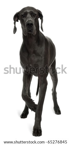 Great Dane, 15 months old, walking in front of white background - stock photo