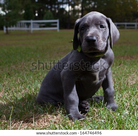 Great Dane puppy that is on the lawn for the first time - stock photo
