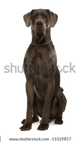 Great dane sitting in front of white background, studio shot - stock photo