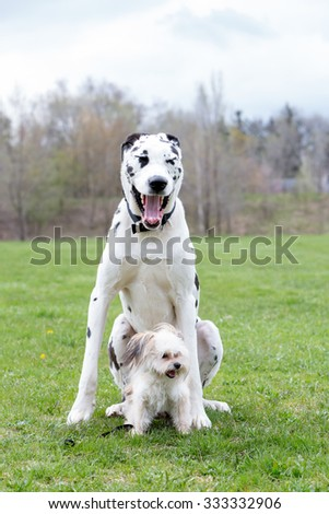 Great Dane sitting outside with a little dog - stock photo