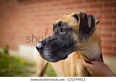 Great dane standing next to brick wall looking left - stock photo