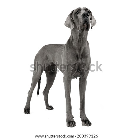 Great Dane staying in the white studio floor - stock photo