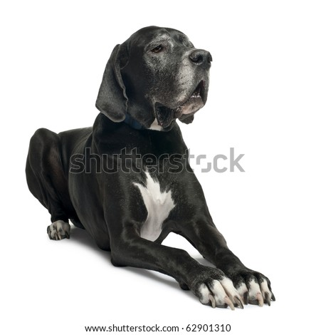 Great Dane, 1 year old, lying in front of white background - stock photo