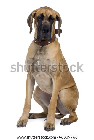 Great Dane, 1 year old, sitting in front of white background - stock photo