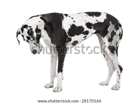 Great Dane (4 years old) in front of white background - stock photo