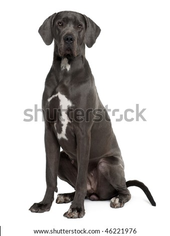 Great Dane, 2 years old, sitting in front of white background - stock photo