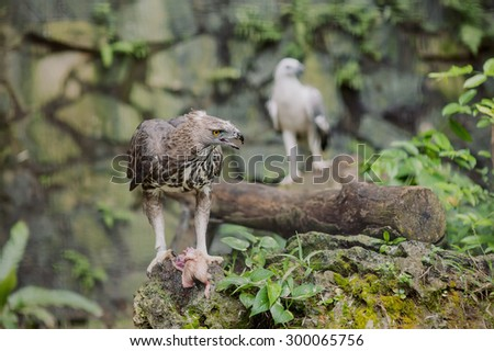 great eagle with prey on branch - stock photo