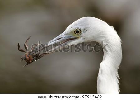 Great Egret (Ardea alba) Eating a Crab - Sanibel Island - stock photo
