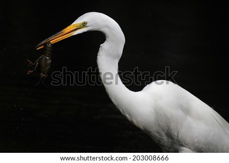 Great Egret (Ardea alba) eating a crayfish on a dark background