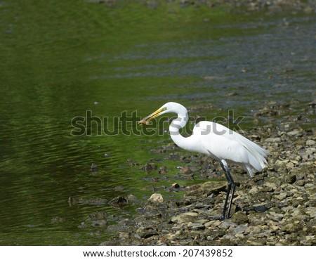 Great Egret (Ardea, alba) eating a fish - stock photo