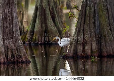 Great Egret (ardea alba) framed by huge trunks of Cypress trees.  Taken on Lake Martin, Breaux Bridge, Louisiana in the heart of Cajun Country. - stock photo