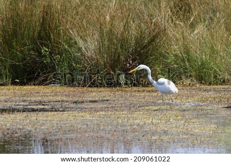 great egret ( ardea alba ) hunting on the  swamps near Sfantu Gheorghe, Danube Delta, Romania - stock photo