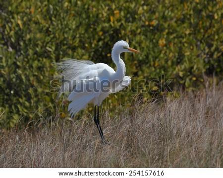 Great egret, Ardea alba,  in breeding plumage - stock photo