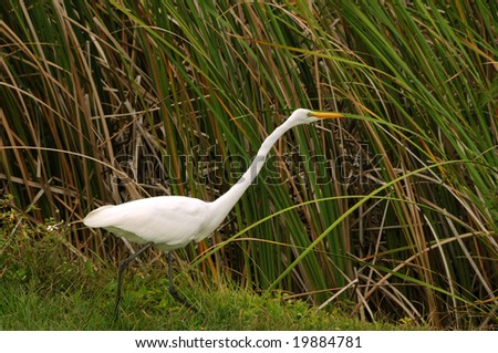 Great egret ( ardea alba) in the Florida Everglades - stock photo