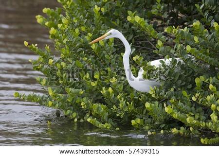 Great Egret (Ardea alba modesta), American subspecies, fishing. - stock photo