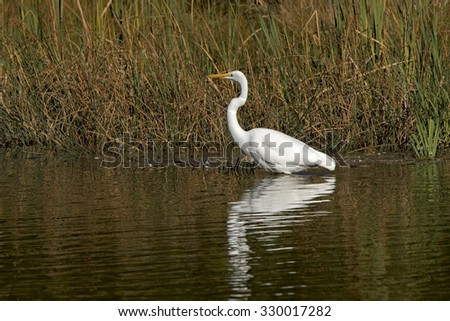 Great Egret (Casmerodius albus) - stock photo