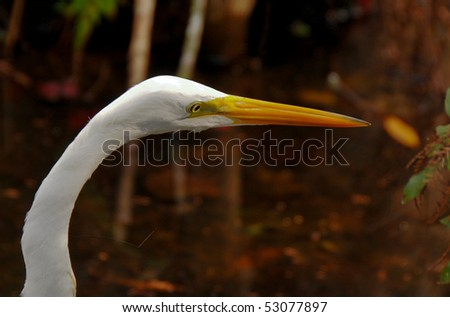 Great Egret Close Up