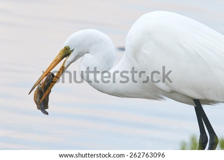 Great Egret Eating a Toadfish - stock photo