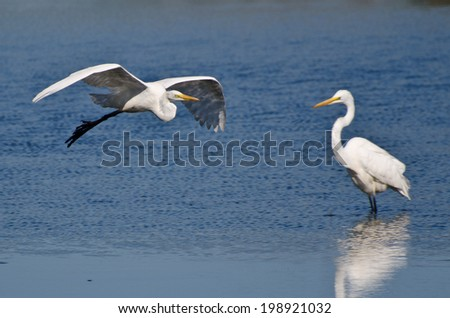 Great Egret Flying Over the Marsh - stock photo