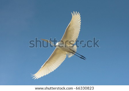 Great Egret in flight against the blue sky / Ardea alba