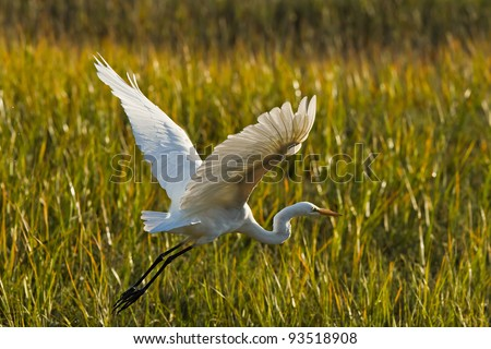 Great Egret in flight. The Great Egret (Ardea alba), also known as the Great White Egret or Common Egret.