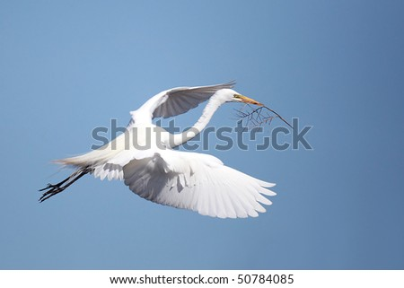 Great Egret in flight with nesting material.