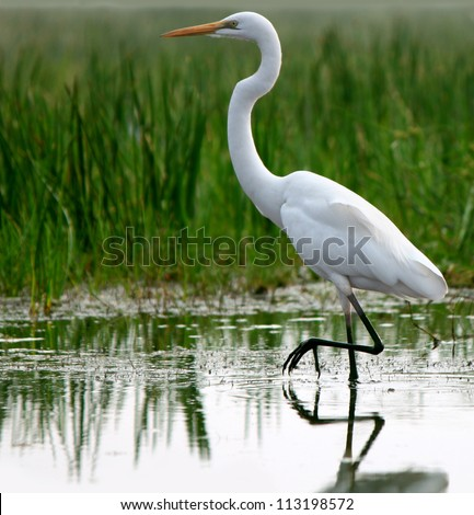 Great Egret in shallow water of tropical grassland - stock photo