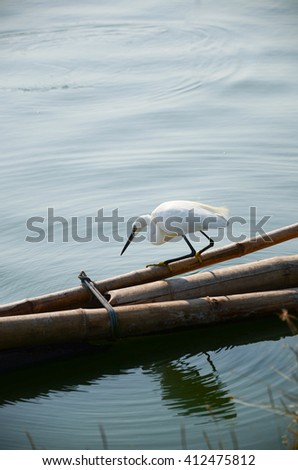 great egret looking into the lake - stock photo