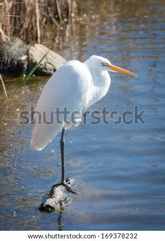 Great egret near bank on wood log in Huntington Beach State park - stock photo
