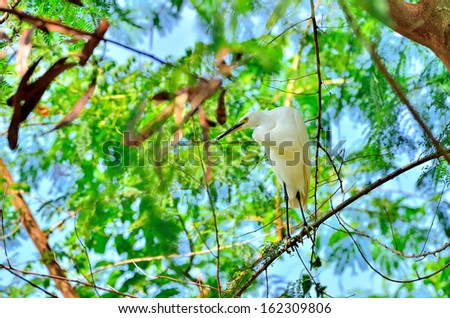 Great Egret on the tree branch - stock photo