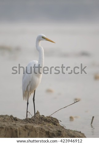 Great Egret or Common Egret or Large Egret or Great White Heron - stock photo